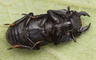 Dorcus parallelipipedus male · platusis elniavabalis ♂ 9393