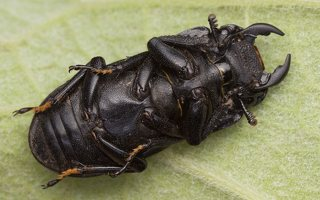 Dorcus parallelipipedus male · platusis elniavabalis ♂ 9394