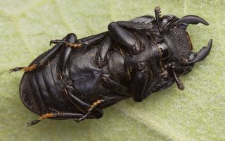 Dorcus parallelipipedus male · platusis elniavabalis ♂ 9395