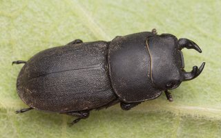 Dorcus parallelipipedus male · platusis elniavabalis ♂ 9396