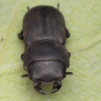 Dorcus parallelipipedus male · platusis elniavabalis ♂ 9398