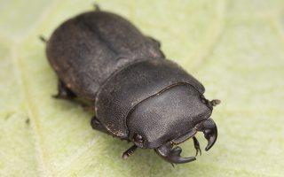 Dorcus parallelipipedus male · platusis elniavabalis ♂ 9399