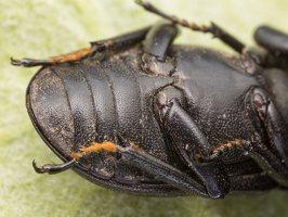 Dorcus parallelipipedus male · platusis elniavabalis ♂ 9402