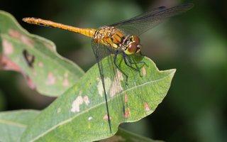 Sympetrum sanguineum female · kruvinoji skėtė ♀ 9720