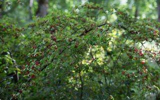 Ribes alpinum · kalninis serbentas 9814
