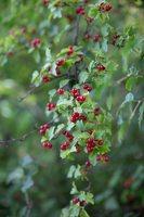 Ribes alpinum · kalninis serbentas 9815