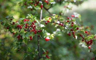 Ribes alpinum · kalninis serbentas