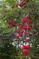 Sambucus racemosa · raudonuogis šeivamedis 9887