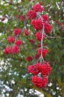 Sambucus racemosa · raudonuogis šeivamedis 9888