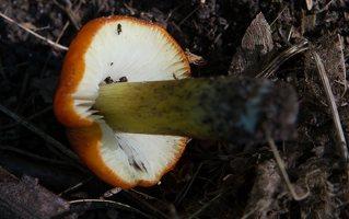 Hygrocybe conica · kūginė guotenė 9949