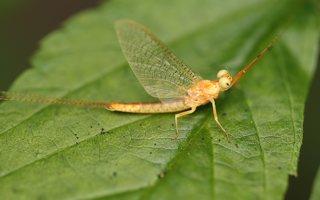 Ephemeroptera · lašalas 0001