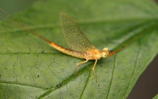 Ephemeroptera · lašalas 0002