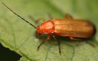 Rhagonycha fulva · skėtinis minkštavabalis 0004