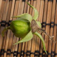 Campanula latifolia fruit · plačialapis katilėlis, vaisius 0229