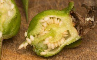 Campanula latifolia fruit · plačialapis katilėlis, vaisius 0234