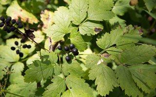 Actaea spicata · varpotoji juodžolė 0340