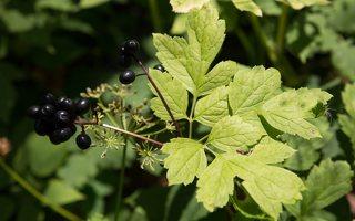 Actaea spicata · varpotoji juodžolė 0341