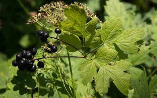 Actaea spicata · varpotoji juodžolė 0342