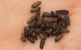 Alliaria petiolata seeds · vaistinė česnakūnė, sėklos 0384