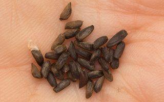 Alliaria petiolata seeds · vaistinė česnakūnė, sėklos 0385