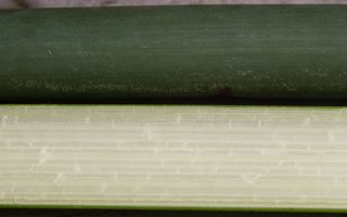 Schoenoplectus lacustris · ežerinis meldas 0718