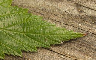 Filipendula ulmaria leaf · pelkinė vingiorykštė, lapas 0732