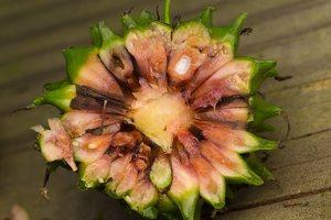 Sparganium erectum fruit · šakotasis šiurpis, vaisius 0781