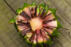 Sparganium erectum fruit · šakotasis šiurpis, vaisius 0783