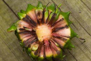 Sparganium erectum fruit · šakotasis šiurpis, vaisius 0784