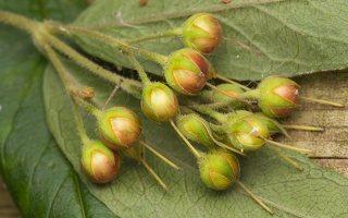 Lysimachia vulgaris fruits · paprastoji šilingė, vaisiai 0798