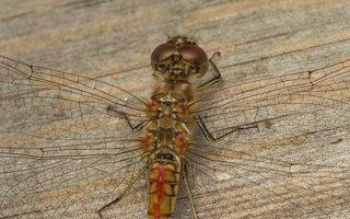 Sympetrum sanguineum immature male · kruvinoji skėtė ♂  0366