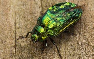 Plagiosterna aenea · žaliasis girinukas 0367