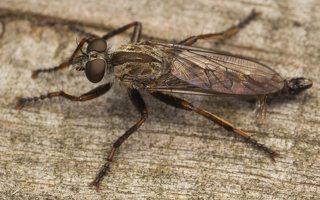 Asilidae · musė plėšrūnė 0368