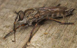 Asilidae · musė plėšrūnė 0369
