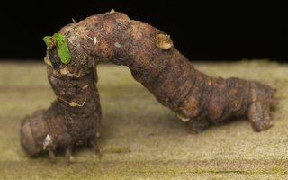 ~ Geometridae caterpillar · sprindis, vikšras 0372