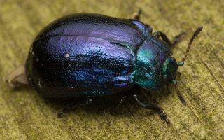 Plagiosterna aenea · žaliasis girinukas 0379