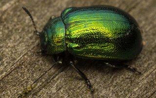 Plagiosterna aenea · žaliasis girinukas 0380