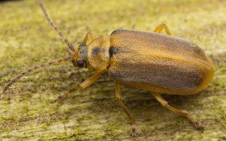 Galerucella lineola · guobinis aksominukas 0383