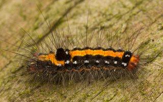 Euproctis similis caterpillar · geltonuodegis verpikas, vikšras 0387