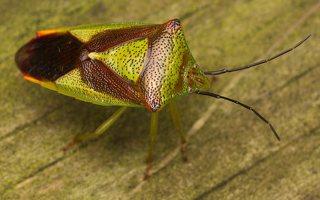 Acanthosoma haemorrhoidale · gudobelinė skydblakė 0388