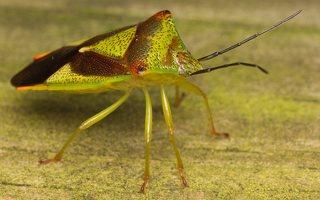Acanthosoma haemorrhoidale · gudobelinė skydblakė 0389