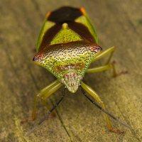 Acanthosoma haemorrhoidale · gudobelinė skydblakė 0390