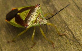 Acanthosoma haemorrhoidale · gudobelinė skydblakė 0393
