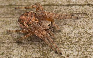 Larinioides patagiatus · pleištadėmis žnypliavoris 0406