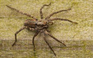 Lycosidae · plėšriavoris 0408
