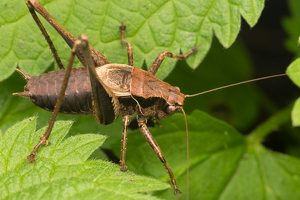 Pholidoptera griseoaptera male · keršasis žiogas ♂  0410