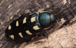 Buprestis octoguttata · aštuoniataškis blizgiavabalis 0430