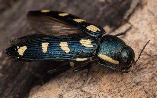 Buprestis octoguttata · aštuoniataškis blizgiavabalis 0431