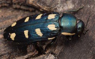 Buprestis octoguttata · aštuoniataškis blizgiavabalis 0433