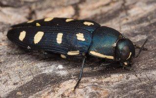 Buprestis octoguttata · aštuoniataškis blizgiavabalis 0435